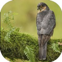 Male Sparrow Hawk Coaster FB_02_SC